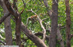 Hewan Bekantan khas Kalimantan