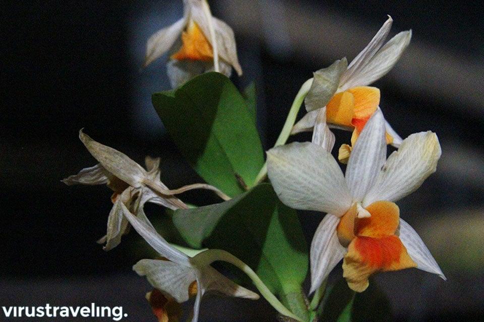 Jenis bunga anggrek di kalimantan