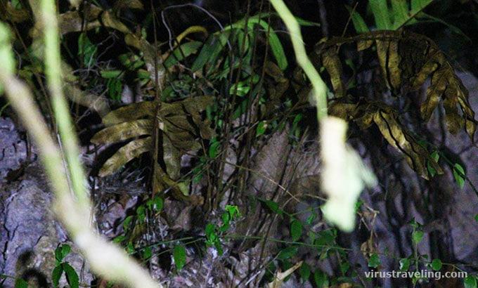 Anggrek Hitam Kandangan di Kalimantan