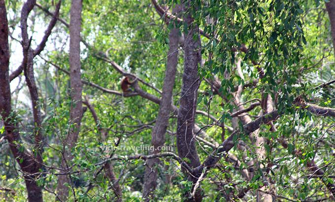 Monyet Bekantan Pulau Kaget