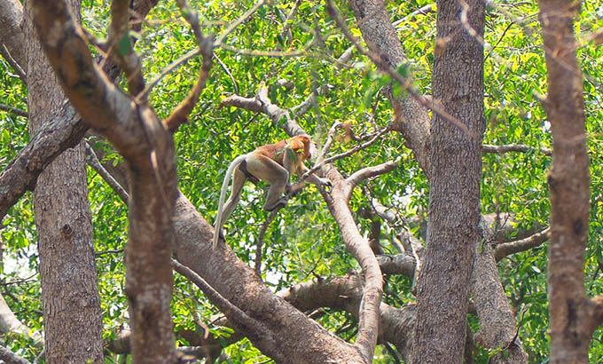 Monyet Bekantan di Pulau Kaget Kalimantan