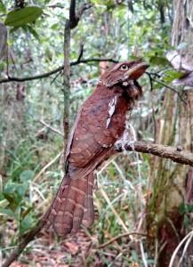 Burung Paruh Kodok Kalimantan