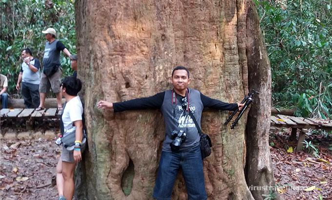 pohon-ulin-raksasa