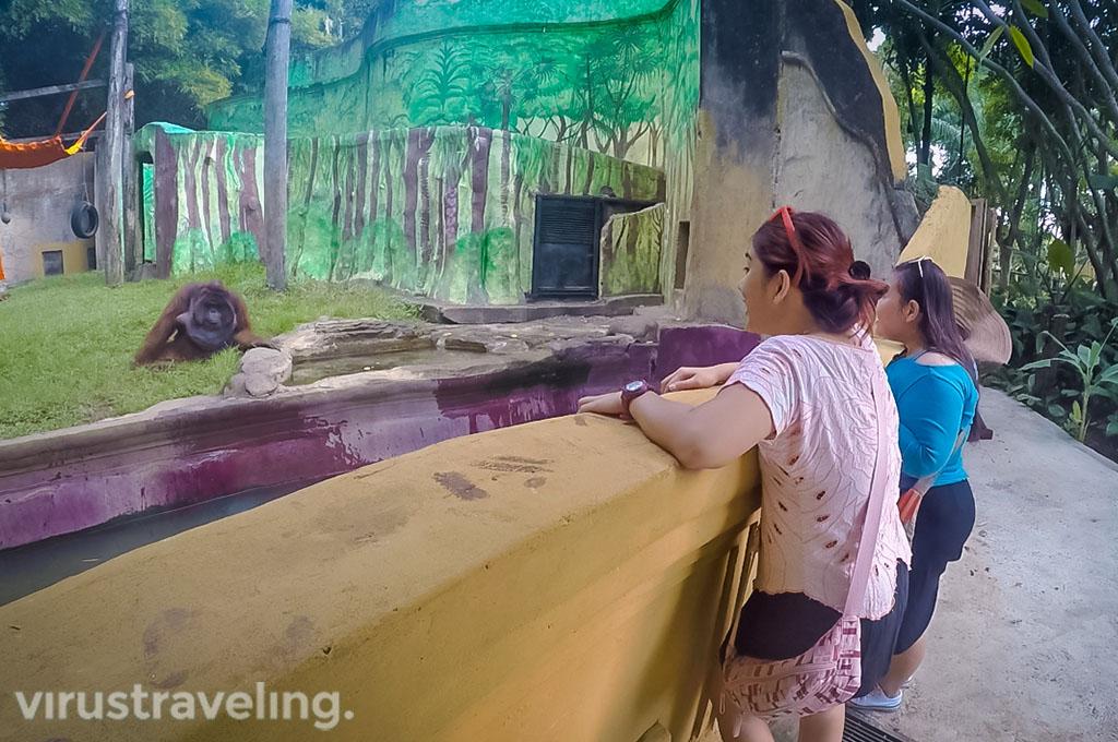 Jacky orang utan Bali Zoo virustraveling