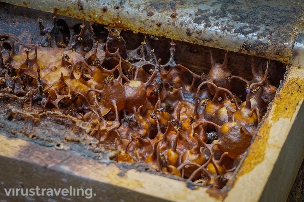 Lebah Madu Labu Kubong