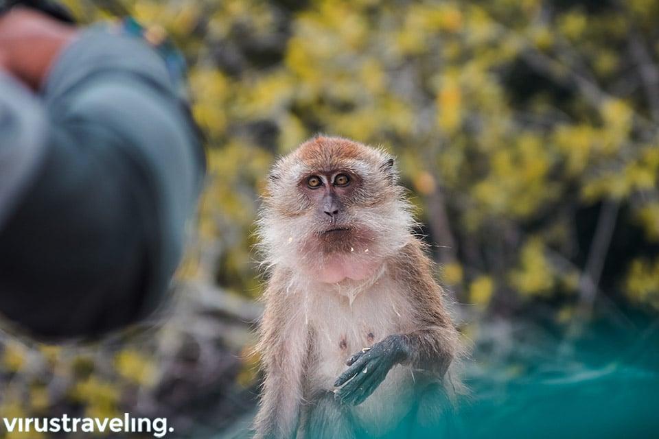 Monyet di Kilim Geoforest Park