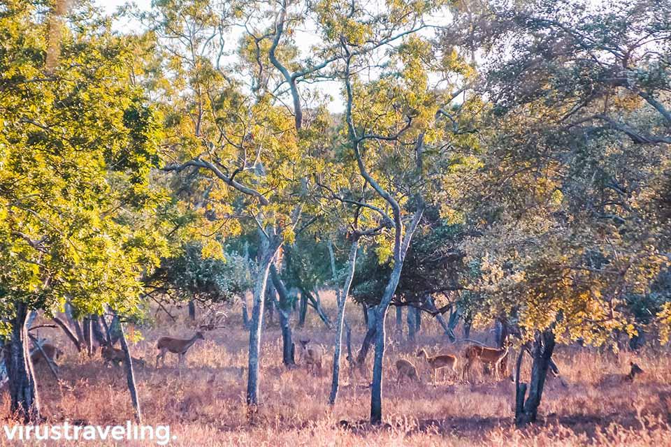 Kerumunan Rusa di Taman Nasional Baluran